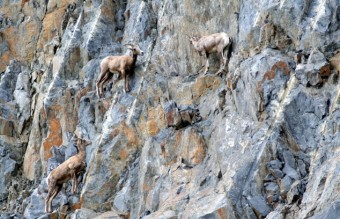 Goats-in-precarious-positions-013