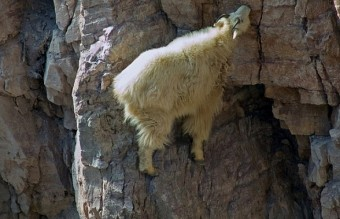 Goats-in-precarious-positions-06