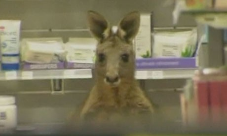 Kangaroo stuck in a pharmacy at Melbourne Airport