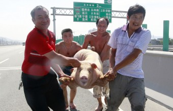 China - Pigs Running on Highway