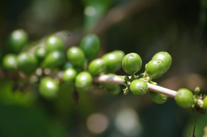 zeleno-kafe-oz-01