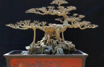 bonsai14