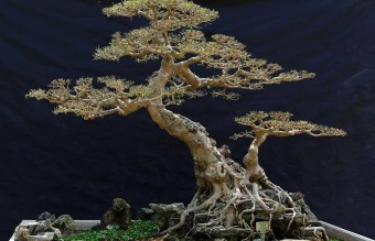 bonsai17