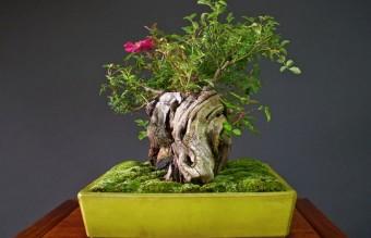 bonsai18