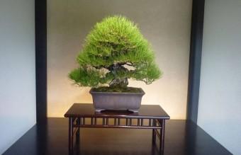 bonsai20