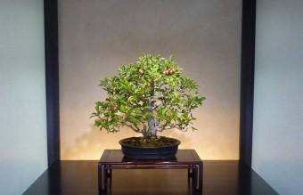 bonsai21