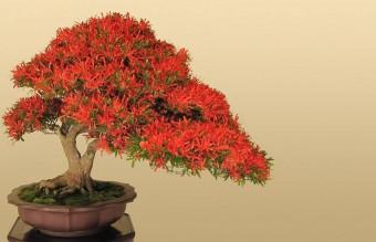 bonsai24