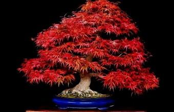 bonsai25