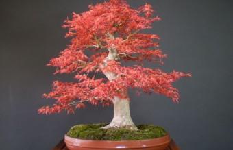 bonsai26