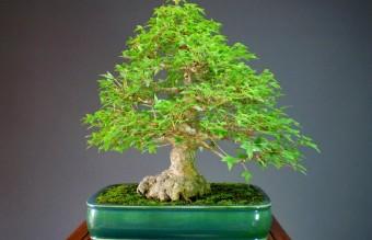 bonsai6