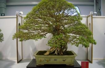 bonsai8