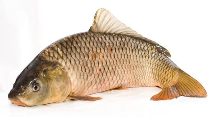 Шаран-риба