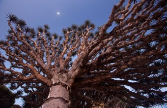 01-socotra-icon-dragons-blood-tree-670