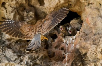 16-female-kestrel-brings-food-to-nestlings-670