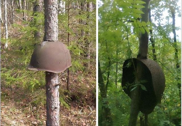 2014-04 World War II Equipment Swallowed By Trees In Russia#1