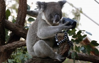 An Australian Koala, that was born with a damaged eye, looks at a camera as it sits atop a branch in its enclosure at Wild Life Sydney Zoo