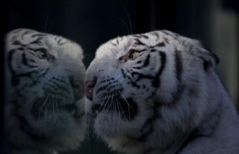 Argentina Tiger Triplets