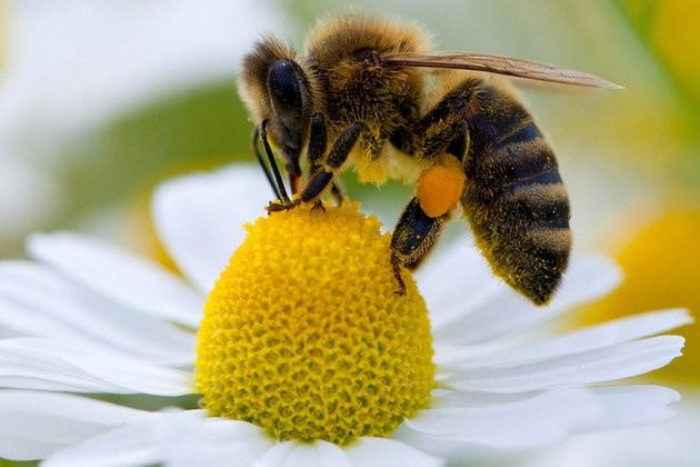 Abeille-fleur-pollen_scalewidth_630