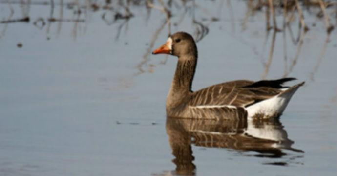duck-Anser-albifrons