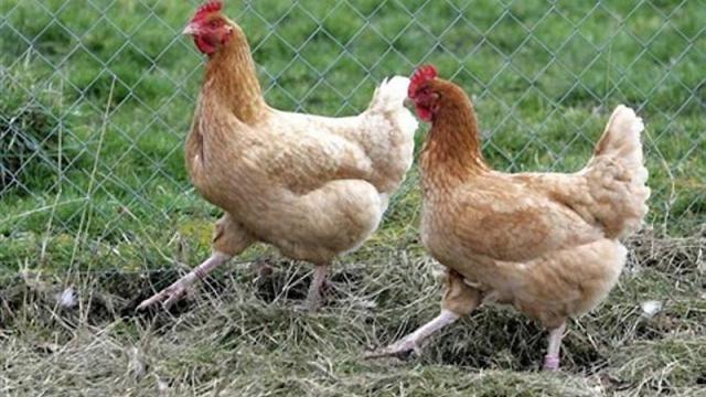 des-poules-pour-manger-les-ordures