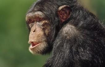 _77936505_c0157835-chimpanzee,_pan_troglodytes-spl