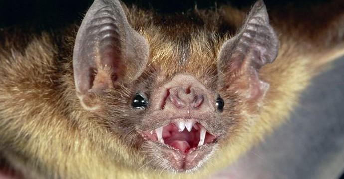 common-vampire-bat_505_600x450