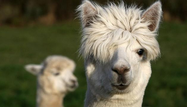 130819142048-cutest-animal-7-alpaca-horizontal-gallery