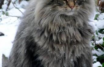 Norwegian-Forest-Cat-__700