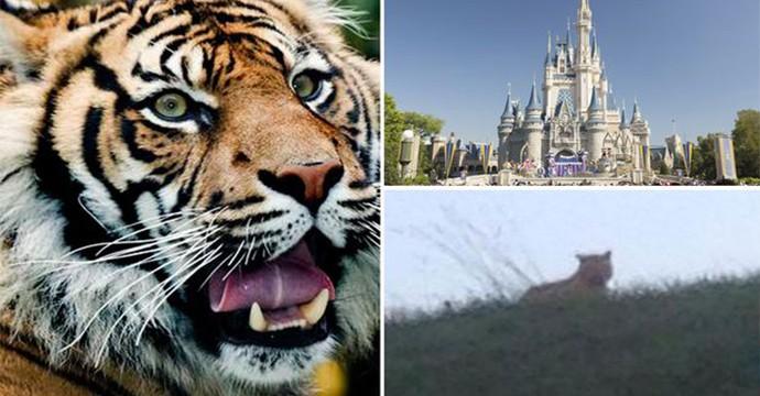 tiger-new-main-