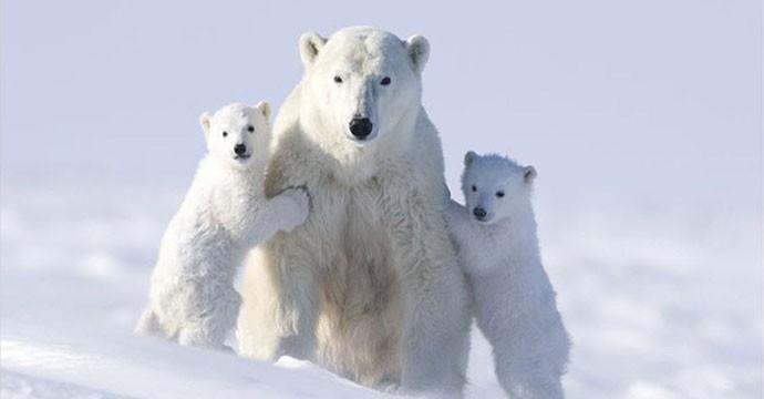 00b-russian-polar-bear-fight-08-12