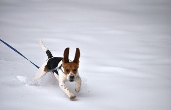 animals-and-first-snow-beagle__700