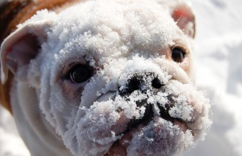 animals-and-first-snow-bulldog__700