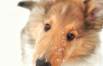 animals-and-first-snow-collie-puppy