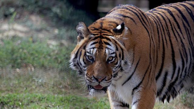 tigre2--640x360