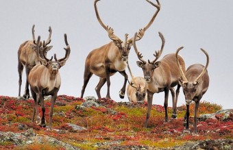 Caribou_Migration_herd_1000_818_84_s__880