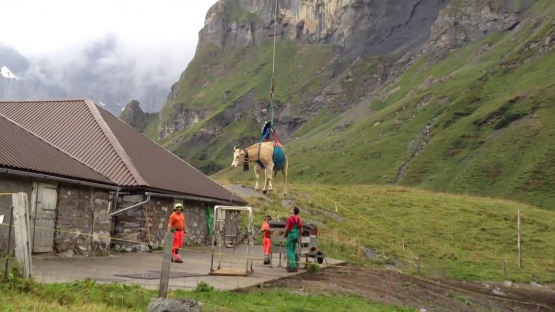 vache-suisse-helicoptere