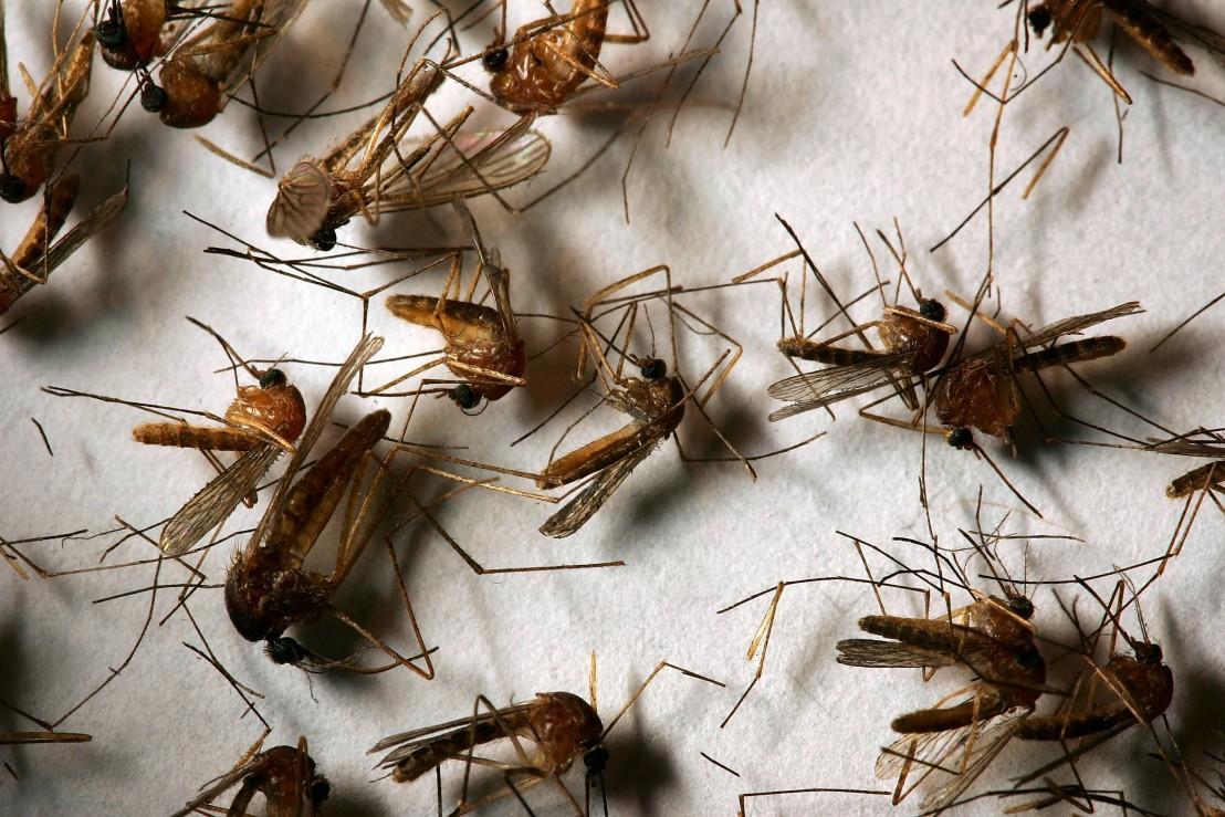 насекоми, храната на бъдещето, мухи, комари