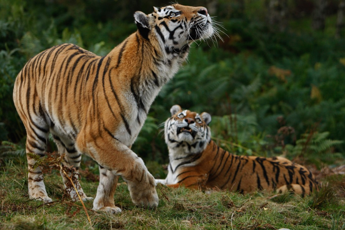 тигри, диви тигри, тигър