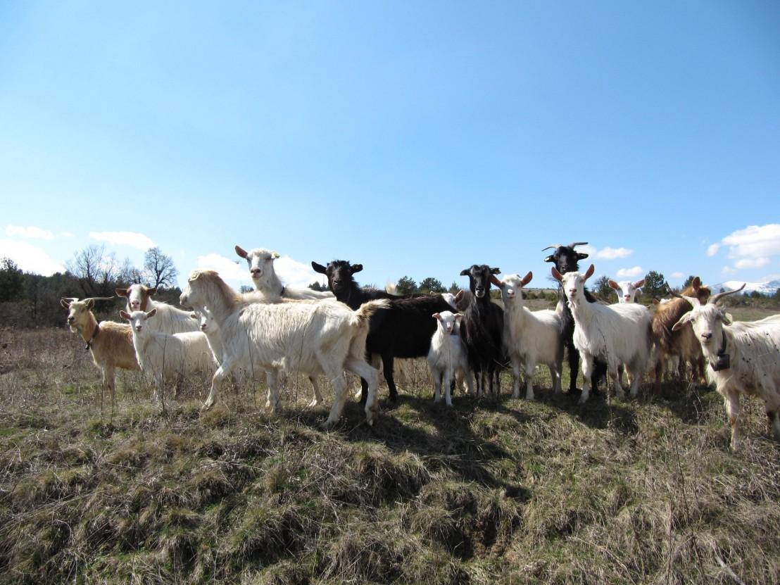 кози, коза, животно