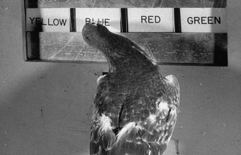 A pigeon tapping at the correct sign when the ligh