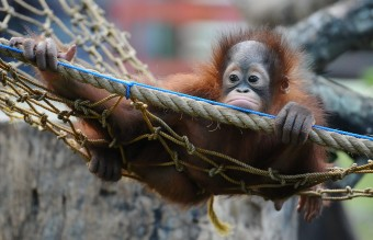Orphaned Orangutans Are Released Back Into The Wild