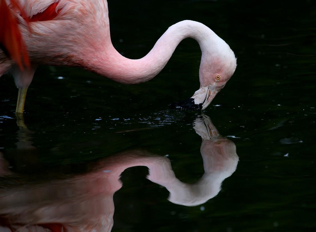 фламинго, чилийско фламинго, розово фламинго