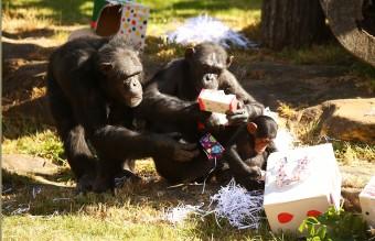 шимпанзета, маймуни