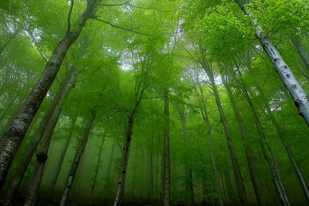 централен балкан, букове, гора, дървета