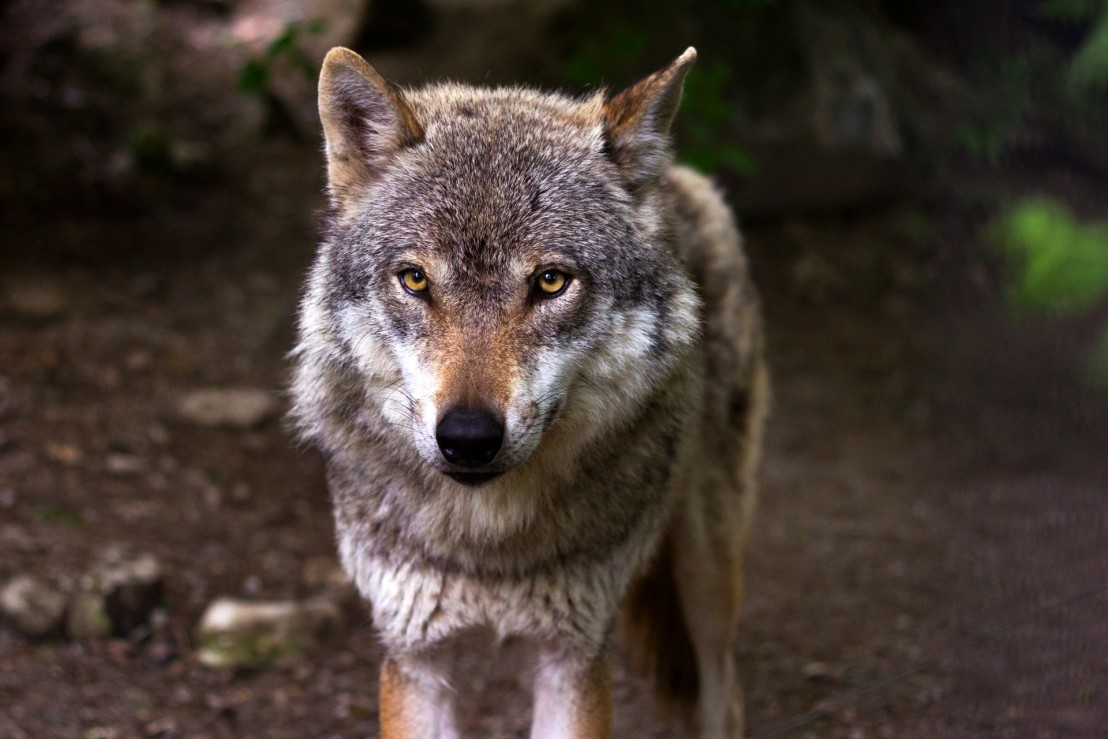 wolf-predator-hunter-canis-lupus-39310