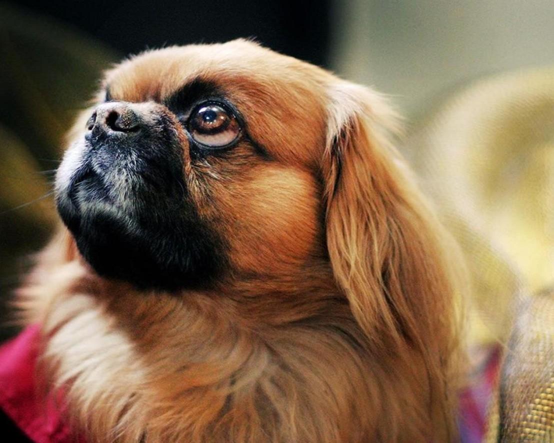 пекинез, куче