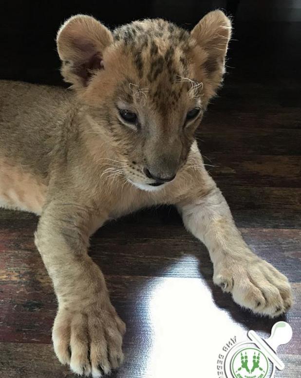 лъв, лъвче