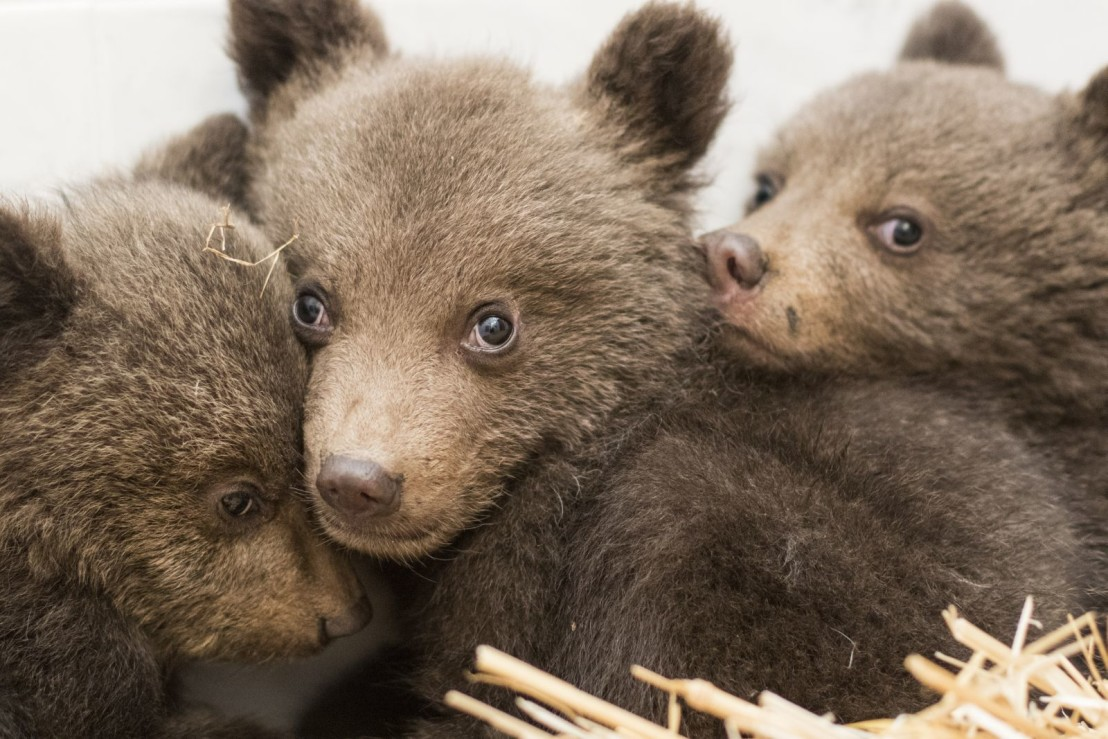 Bear cubs rescued at the Dancing Bears Park