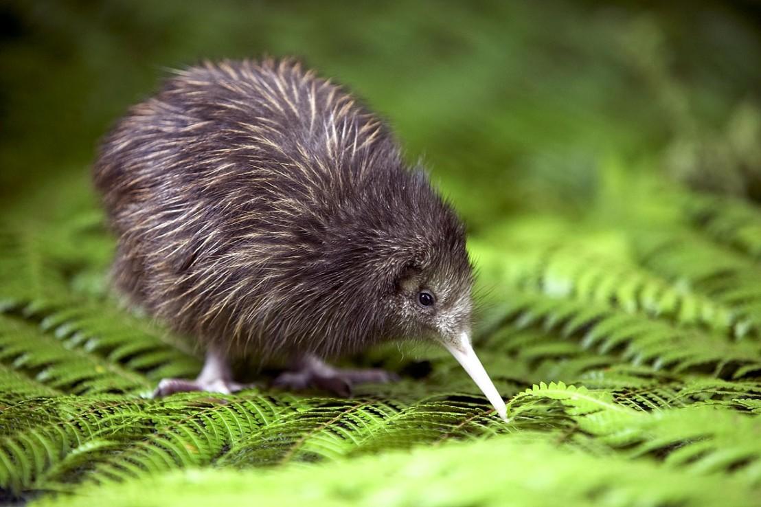 baby-kiwi-chick