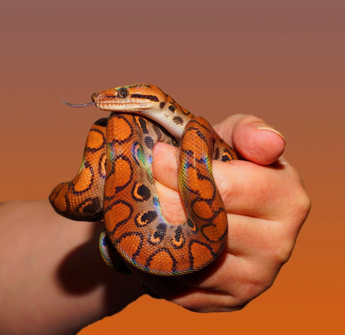 snake-rainbow-boa-reptile-scale